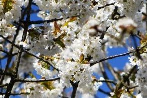 Frühlingsbaumblüte
